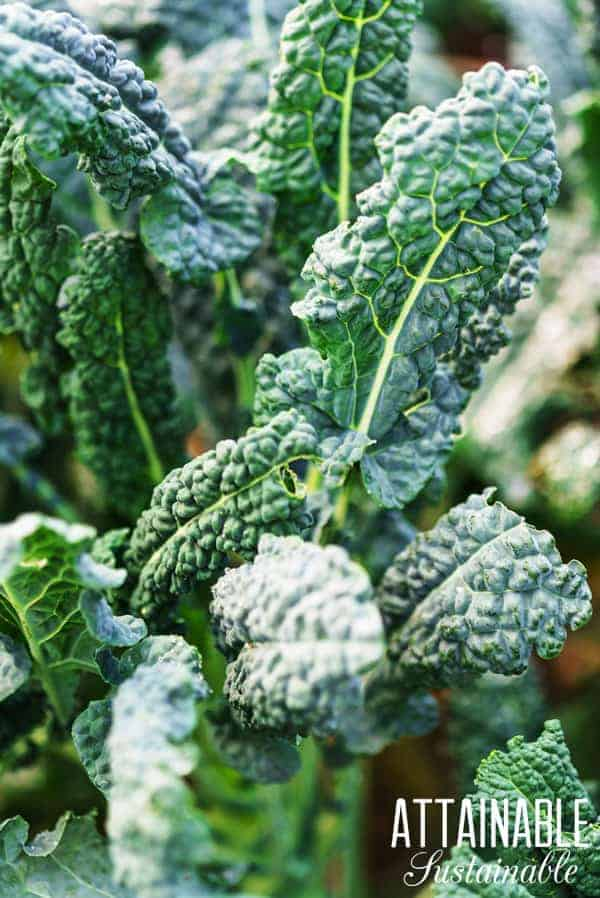 dinosaur kale growing in a garden - comparing annuals vs. perennials