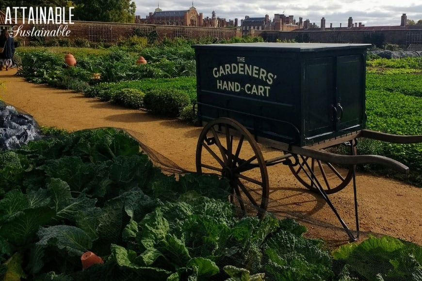 vintage black gardeners hand cart in a vegetable and herb garden