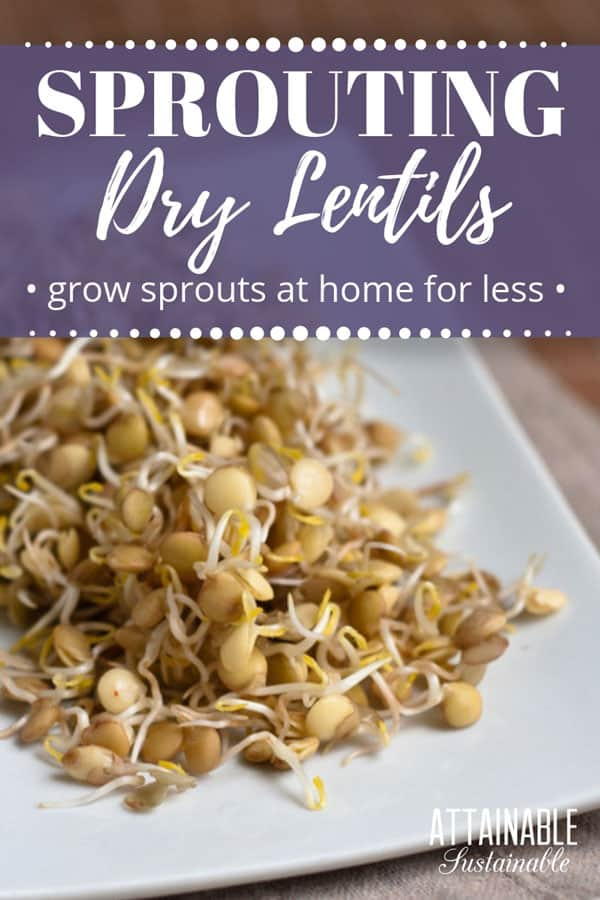 sprouted lentils on a square white plate