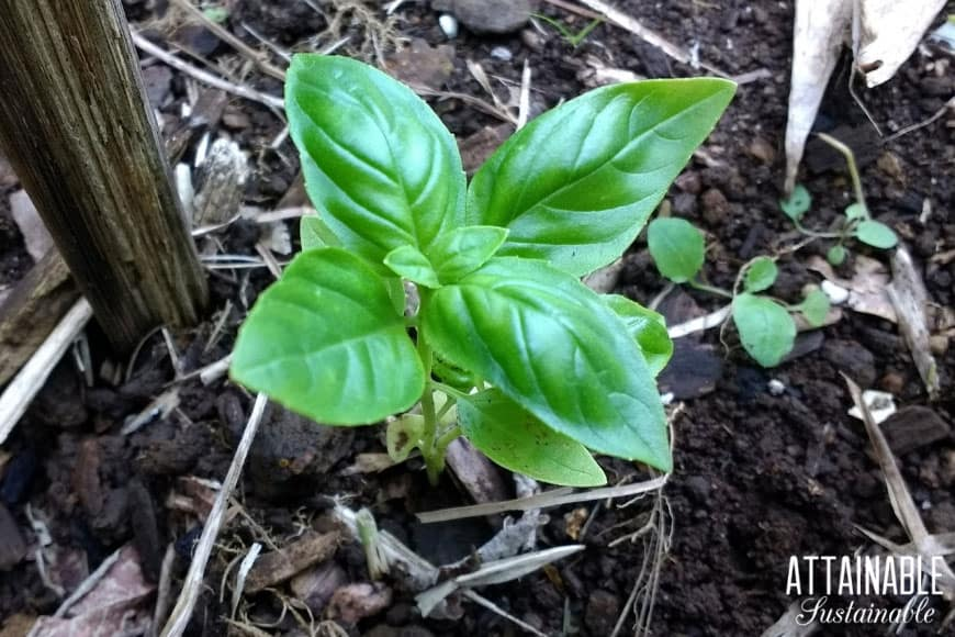 Young basil plant