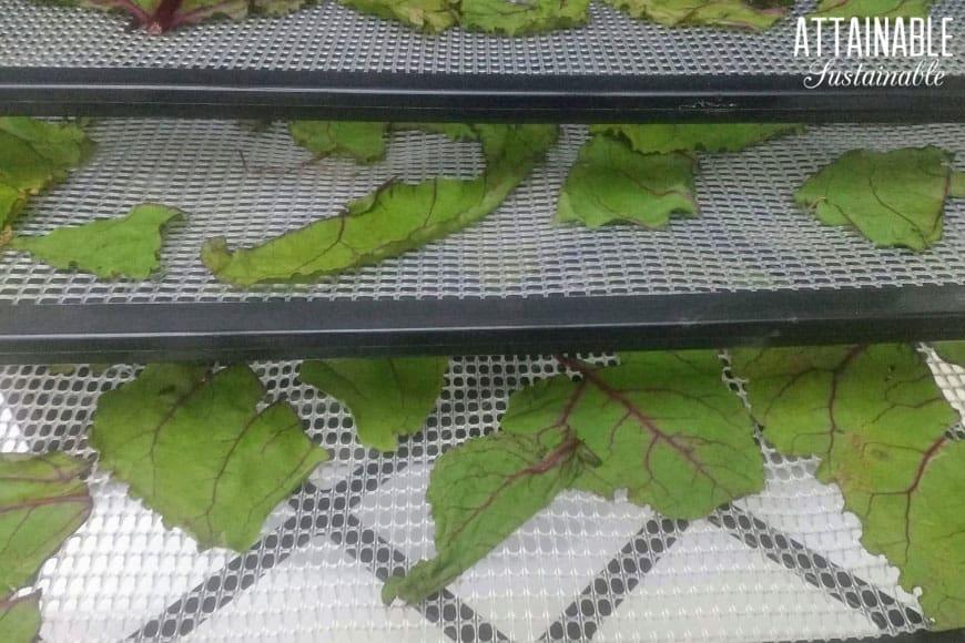 beet greens on a dehydrator tray.
