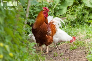 brown rooster, white hen in a chicken garden