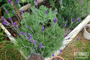 lavender plant in garden bed