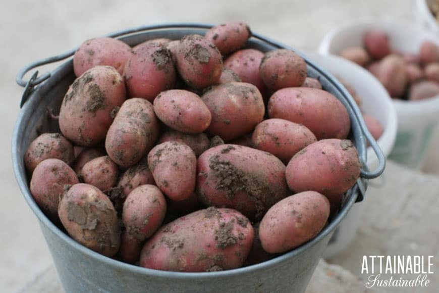 red potatoes in a galvanized bucket