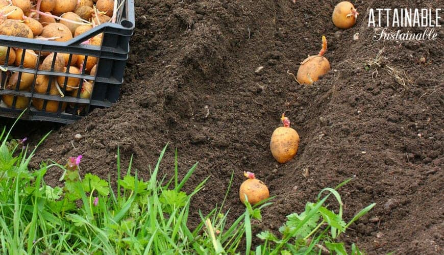 growing potatoes -- planting in a deep trench of soil