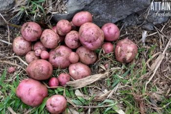 red potatoes just harvested from the garden
