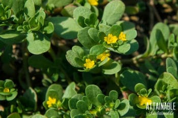 purslane weed with yellow flowers