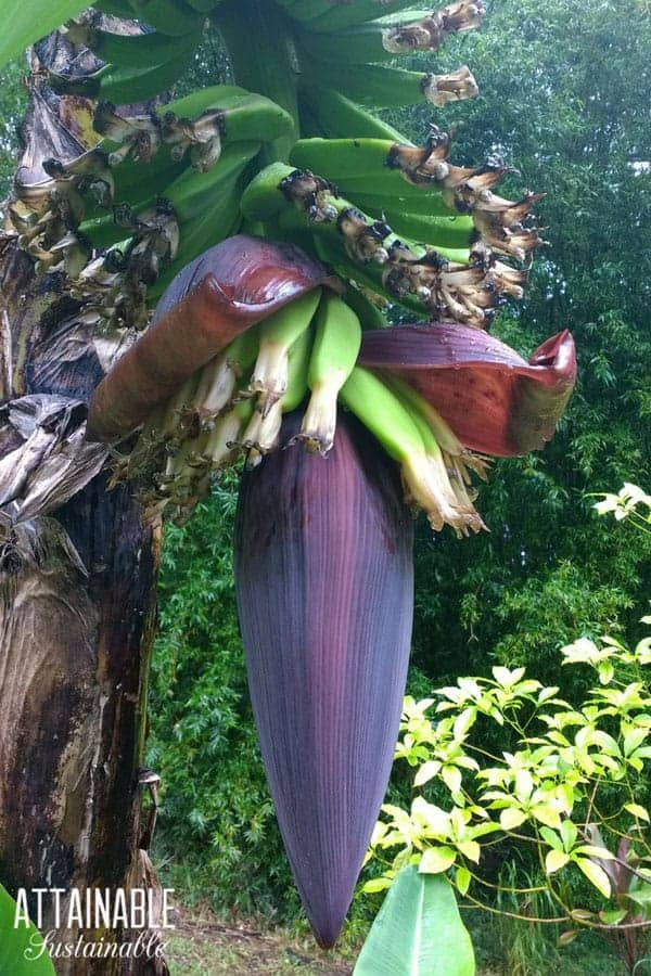 growing bananas emerging from inside purple blossom