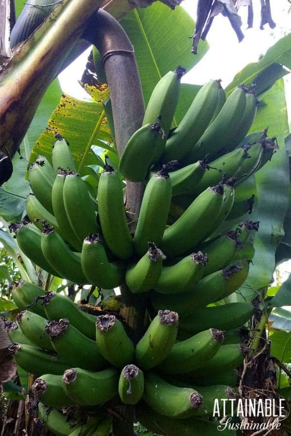 bunch of bananas hanging from banana tree