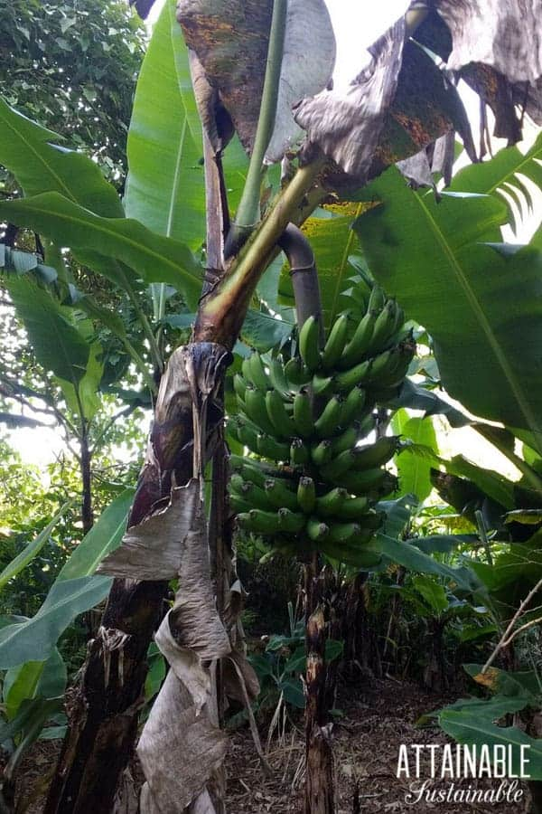 Banana tree with large bunch of bananas