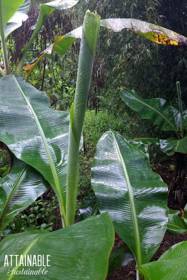 new banana leaf emerging