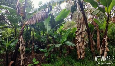 How to Grow Bananas in Your Backyard for Tropical Flavor