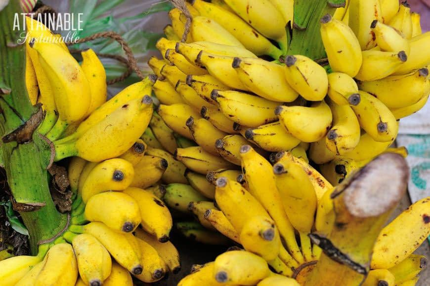pile of ripe bananas still on the stalk