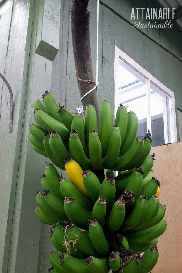 bunch of green bananas hanging on a patio