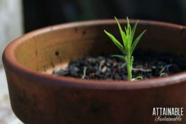 tiny nectarine tree in a clay pot