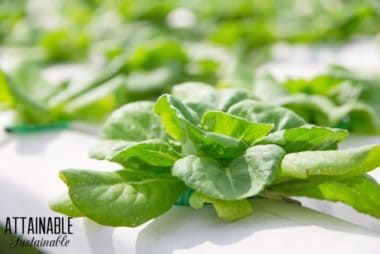 closeup view of white piping with individual lettuce plants showing what is hydroponic growing