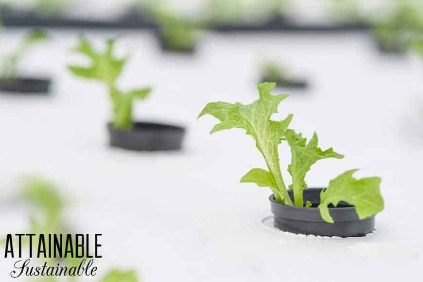lettuce in black planters set into a hydroponic floating mat (white)