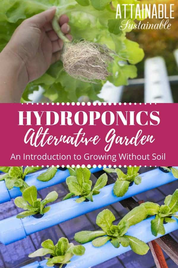 You've heard about hydroponics, but what is hydroponic growing? This method of growing plants without soil has many benefits for the home gardener. Hydroponic growing is a way to grow food indoors on a small scale, or transform a barren area into a productive one. #garden #homestead