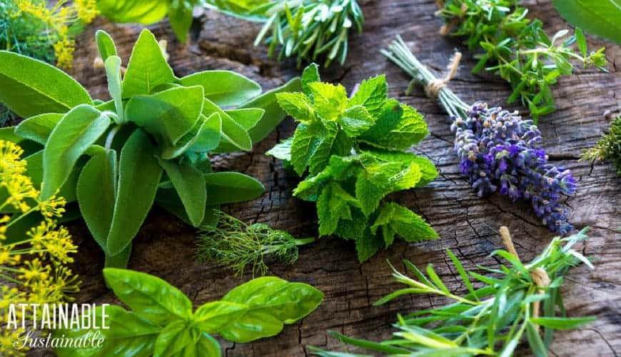 Herbs on a wooden table, including basil, sage, lavender and rosemary -- good treatment for bird mites