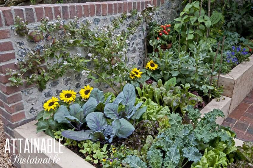 kitchen garden in wooden raised beds with greens and yellow flowers