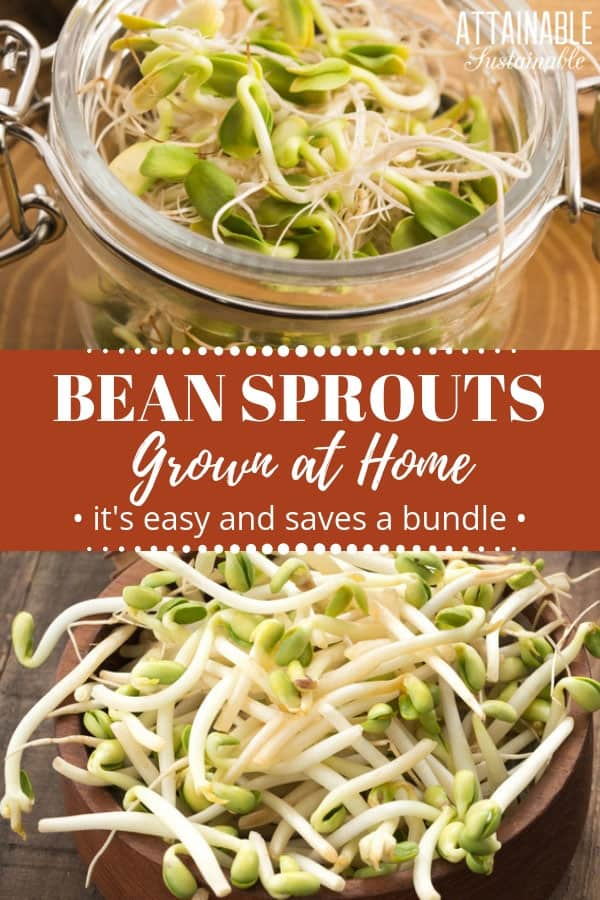 bean sprouts, close up in jar and in wooden bowl