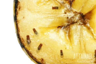 How to Get Rid of Fruit Flies Naturally + 4 DIY Fruit Fly Traps to Try