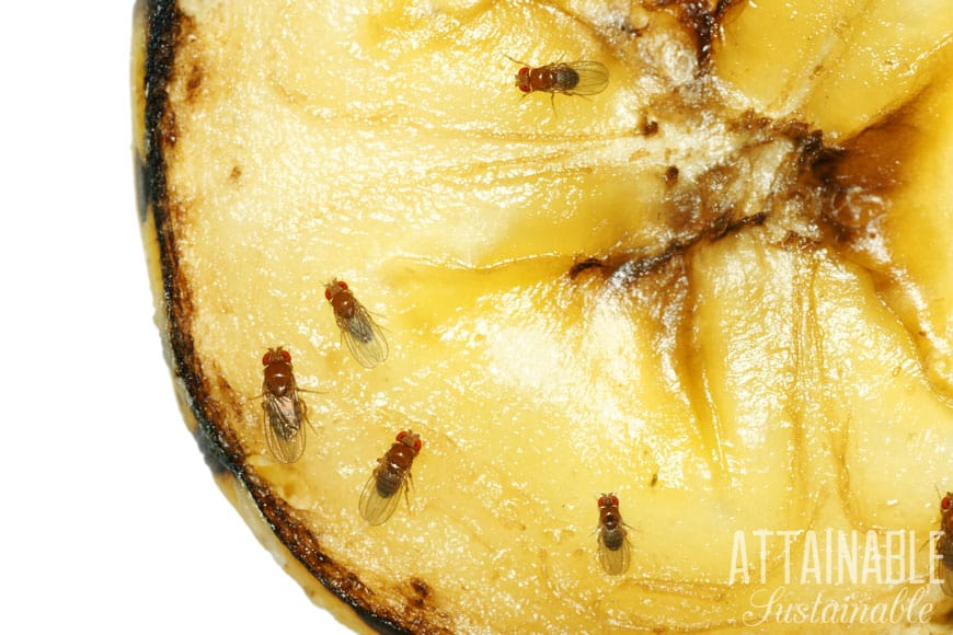 close up of fruit flies on a banana