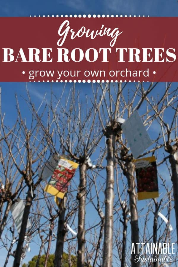 Winter gardening: Time to choose your bare root fruit trees for your home orchard! You'll have a better selection now, too. Planting bare root trees allows for a larger selection of varieties, it's less expensive, and you won't have to lug a heavy planter around. #garden #orchard #homestead