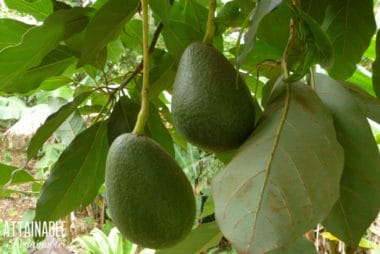 Two avocados hanging from a tree branch