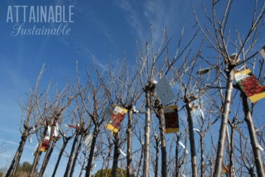 bare root fruit trees against a blue sky