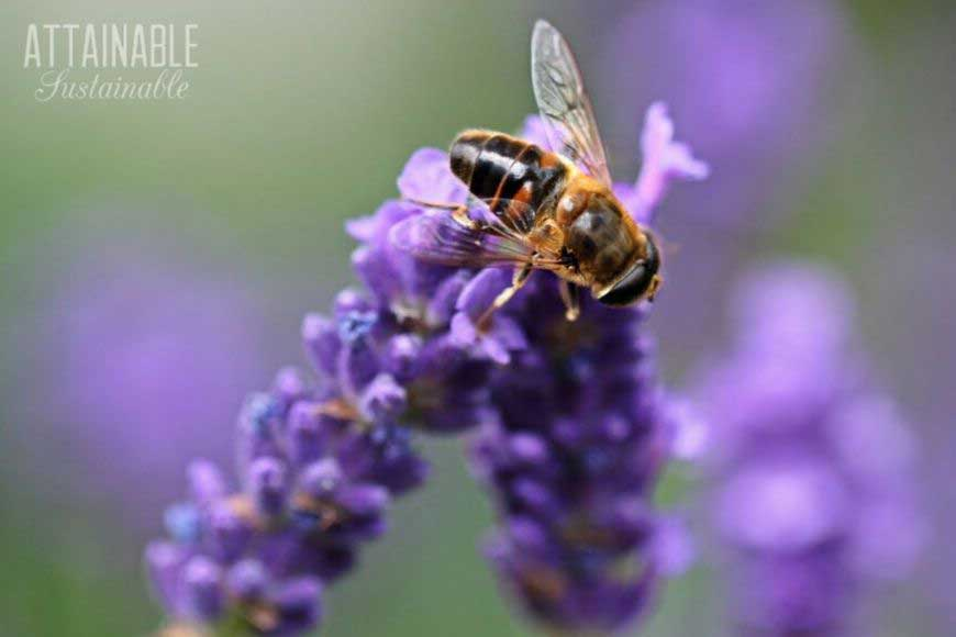 bee on a purple perennial lavender flower