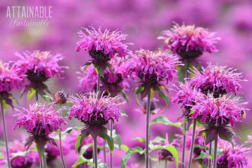 purple monarda flowers