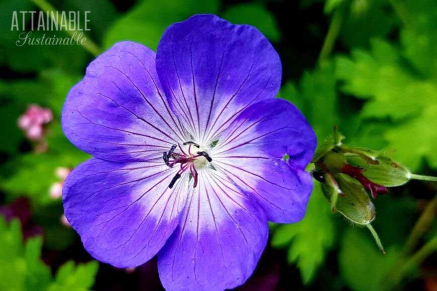 purple cranesbill geranium flower - a good addition to a pollinator garden