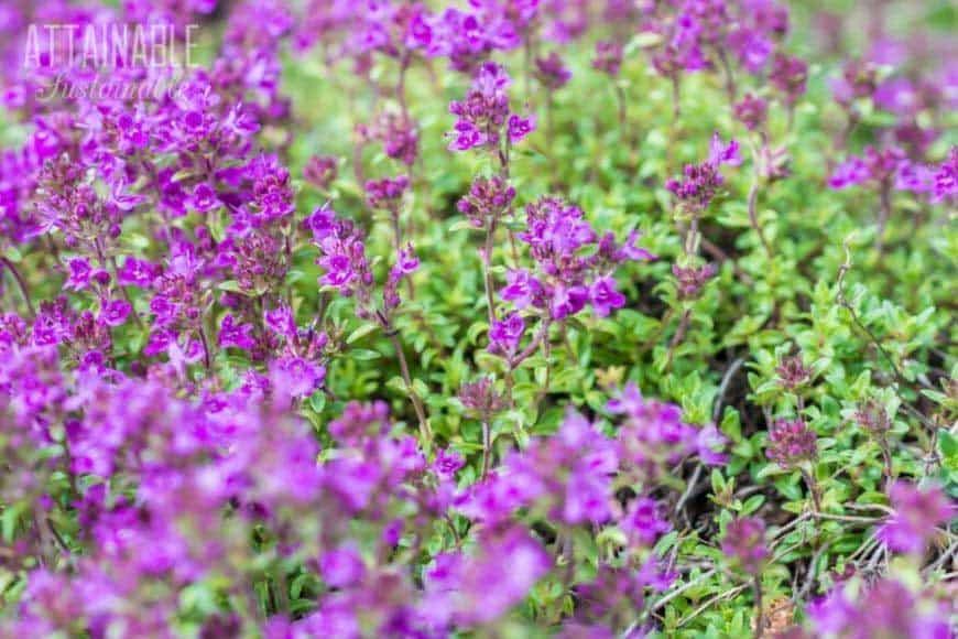 thyme flowering