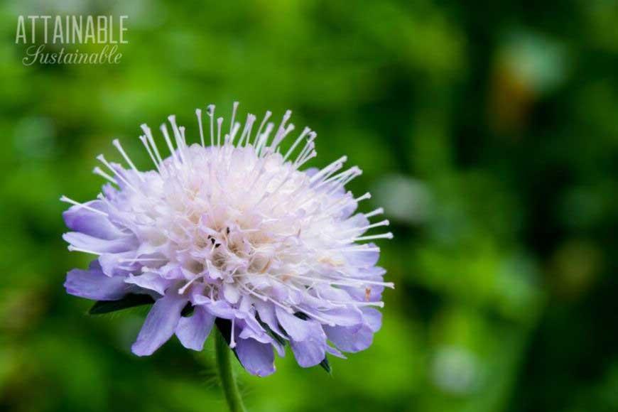 purple pincushion flower - a good addition to a pollinator garden