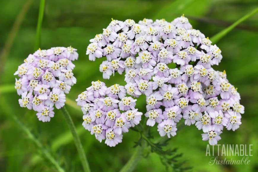 yarrow for the pollinator garden