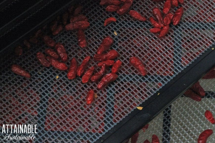 Hawaiian chile peppers on a dehydrator tray