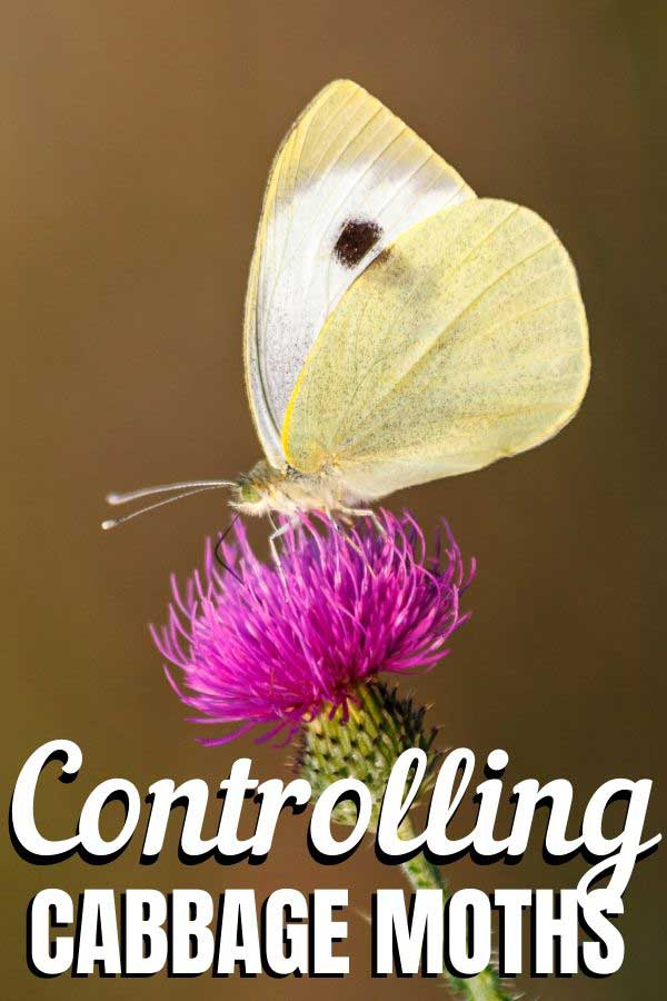 WHITE BUTTERFLY on a thistle flower