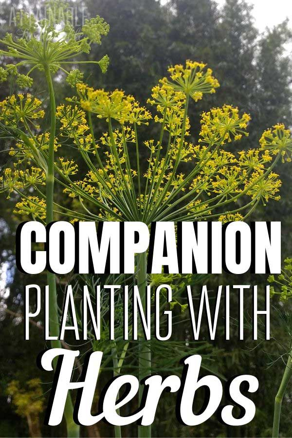 dill flowers for companion planting
