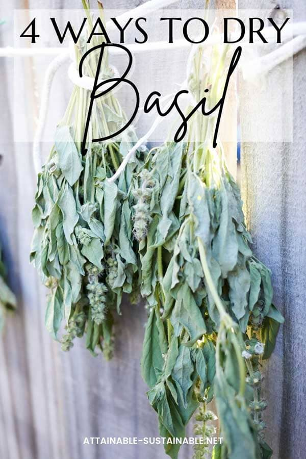 bundles of dried basil hanging on a fence