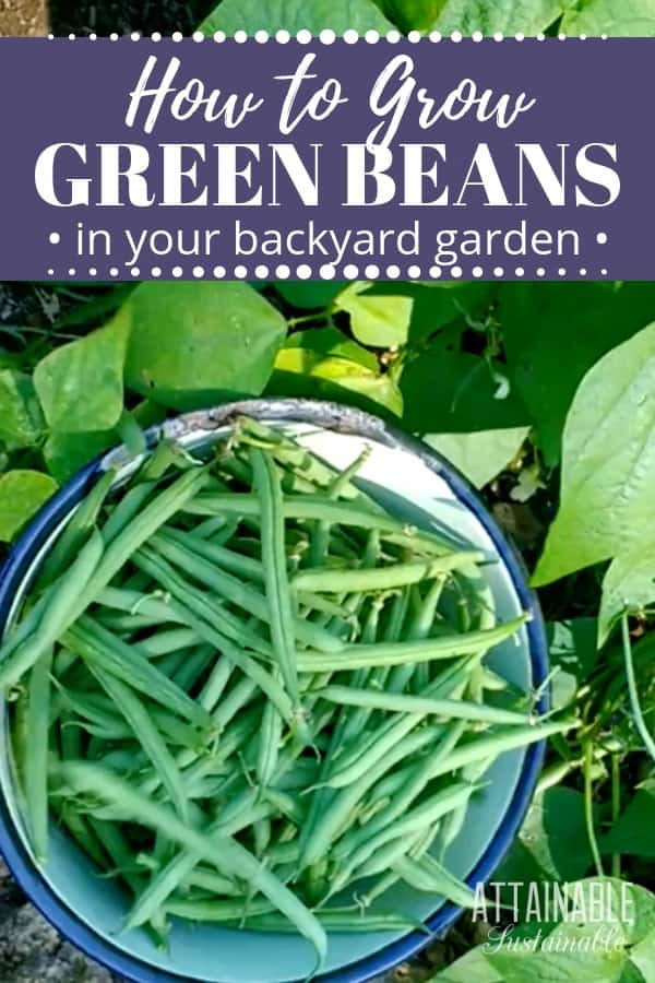 green beans in a white bowl from above