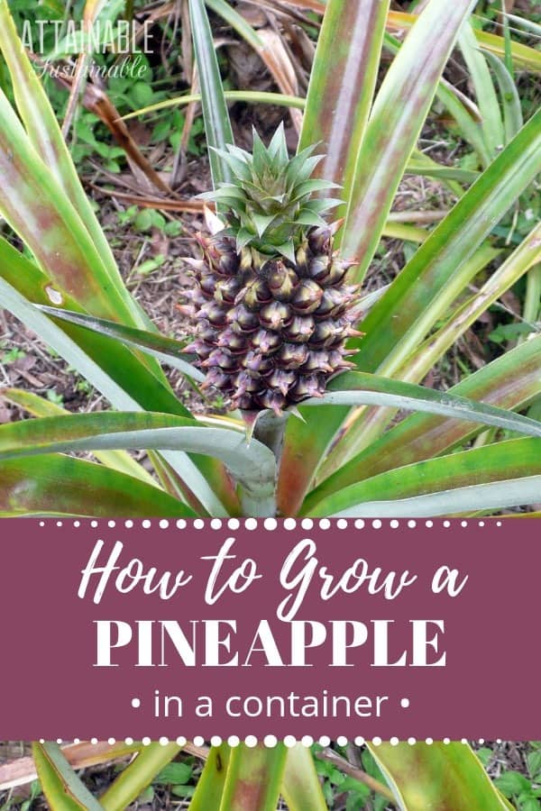 pineapple on a plant, words: How to Grow a Pineapple