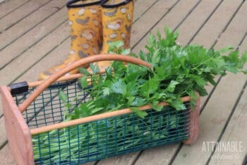 trugg basket full of freshly harvested celery with yellow rain boots in the background