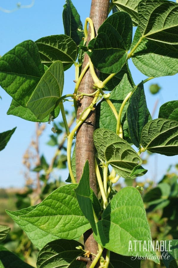 Growing Green Beans In Your Home Garden Attainable