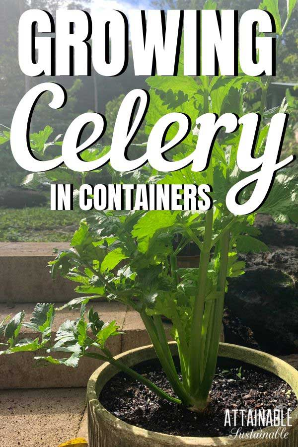 celery in a planter
