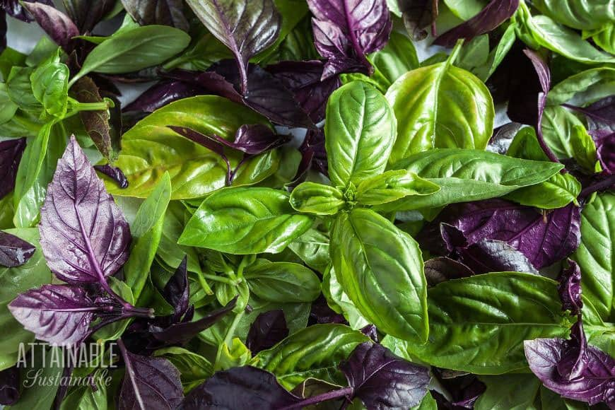 different types of basil, from above