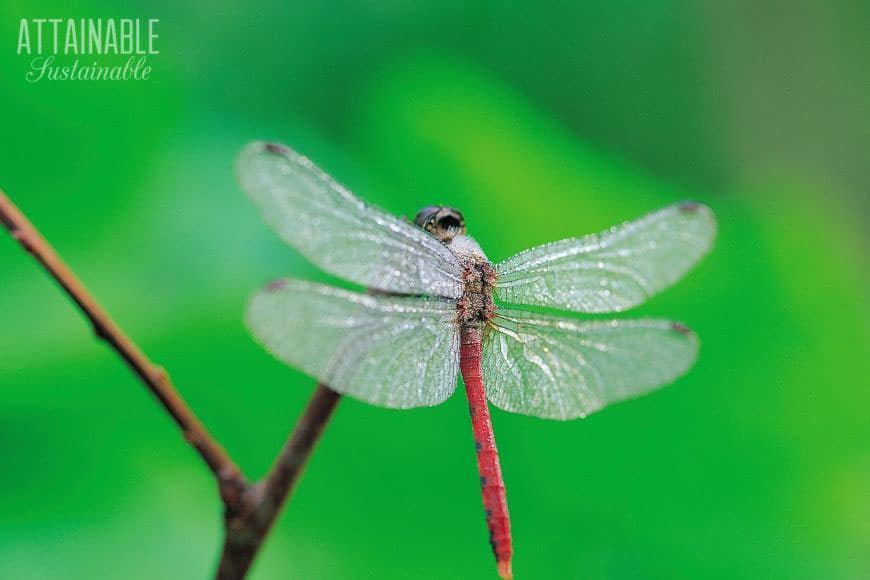 red dragonfly against a green background - they're great natural mosquito control