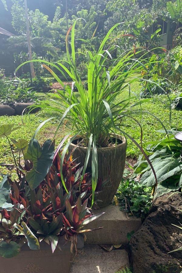 lemongrass plant in a planter