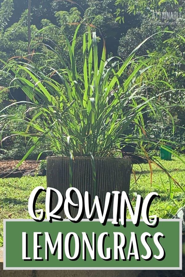 lemongrass plant in a pot