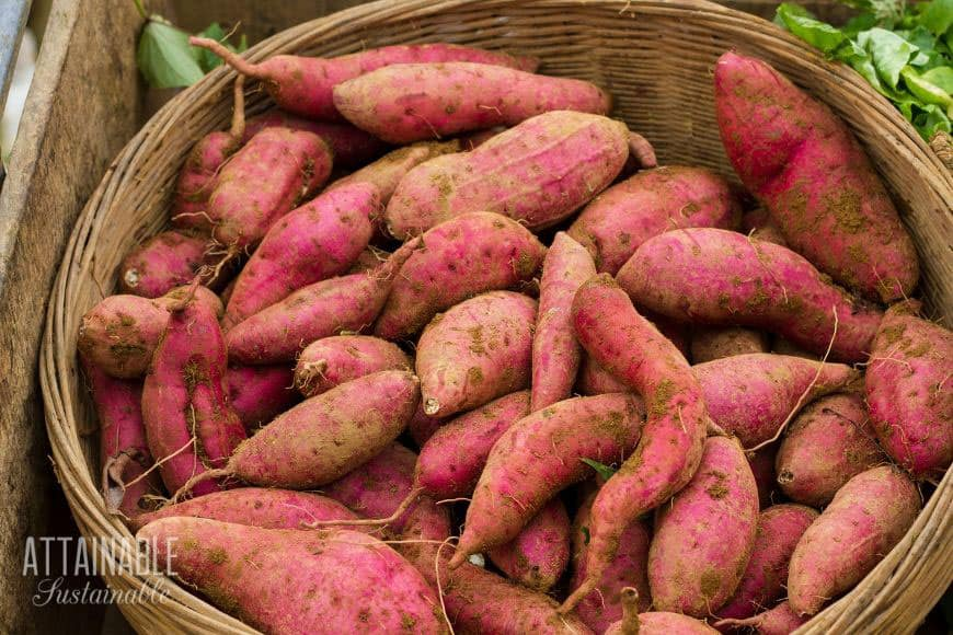 pink sweet potatoes in a basket - a good staple crop for backyard gardeners